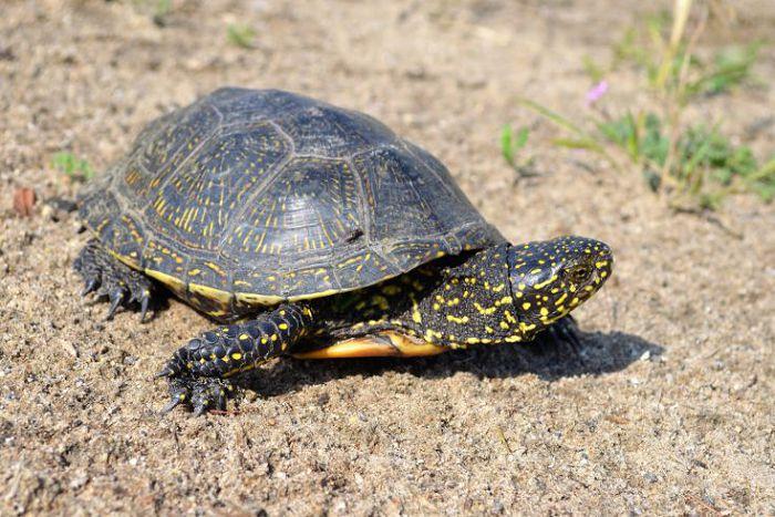 Черепаха болотная европейская
