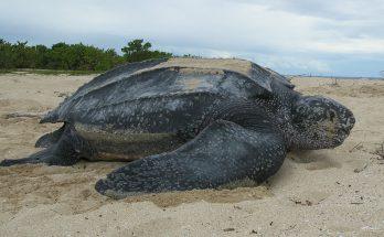 Черепаха кожистая
