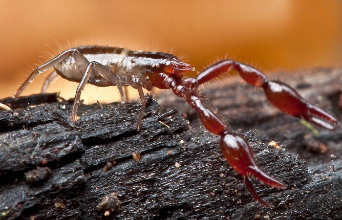 ложноскорпионы