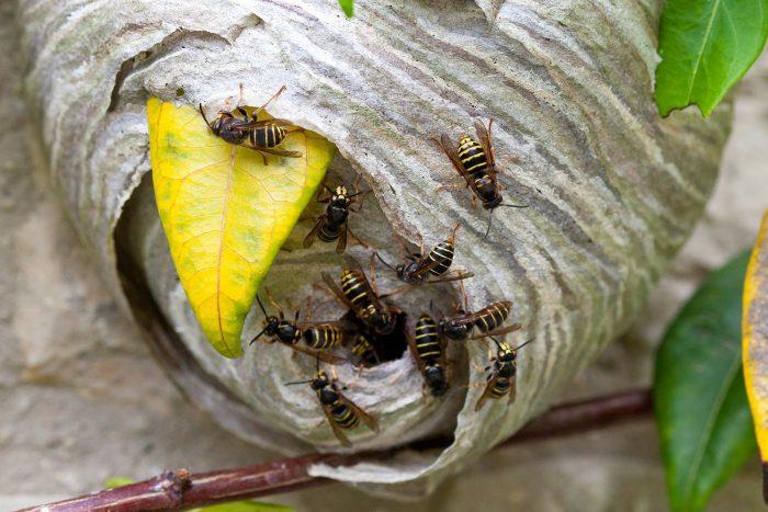 Общественные осы