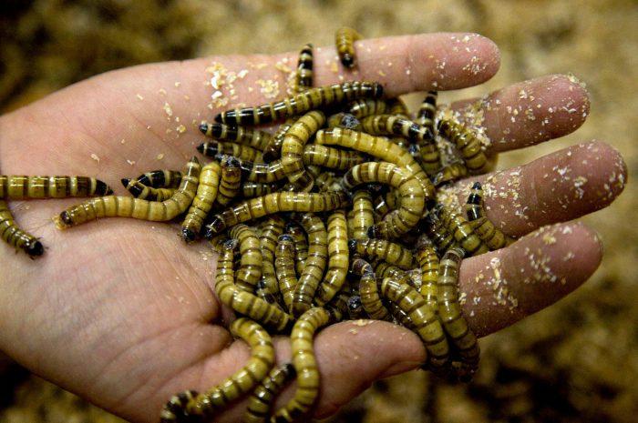 Съедобные насекомые
