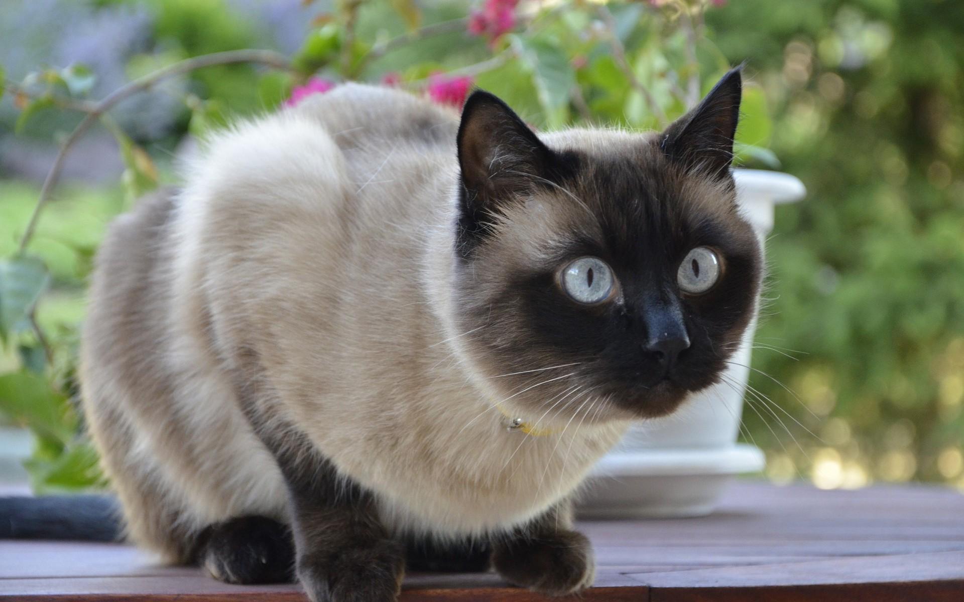 Плюсы и минусы сиамской кошки