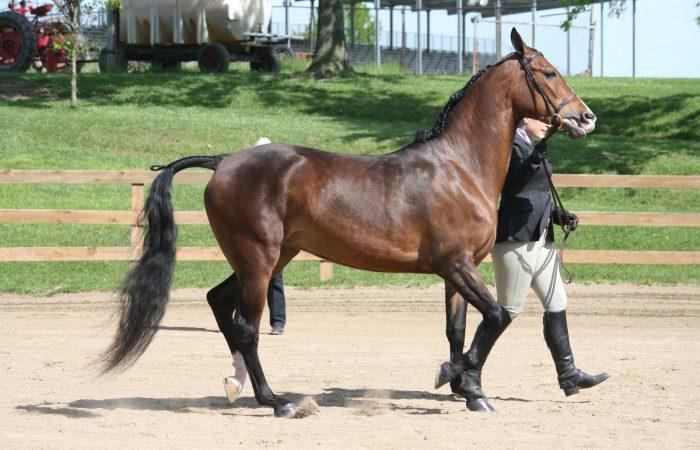 Английские лошади