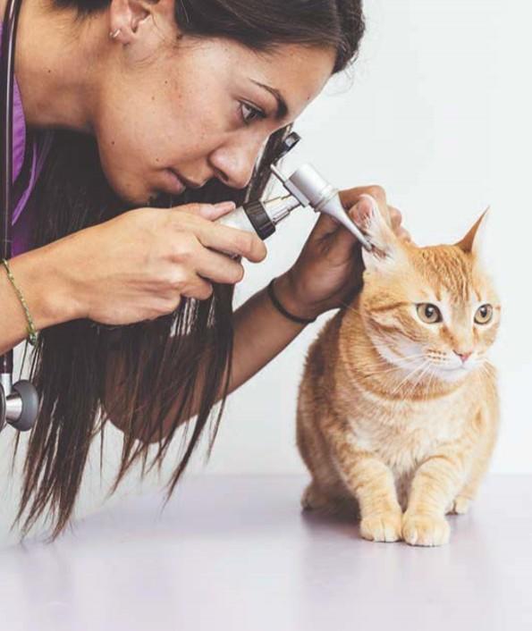 кошка с болезней уха