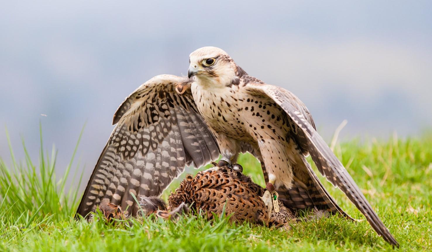 Балобан. Фото и описание птицы. Образ жизни, популяция.