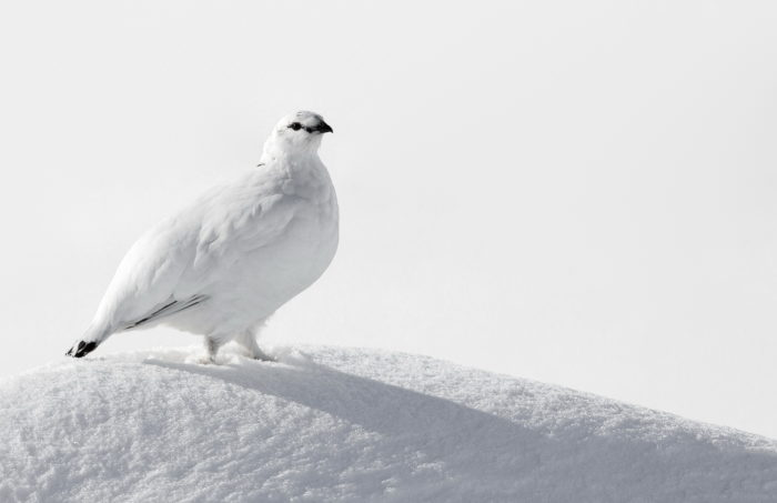 Куропатка белая среднерусская