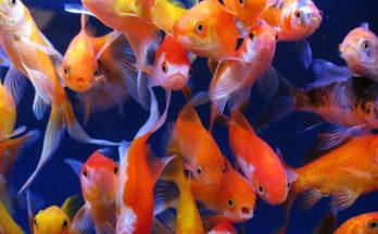 Золотые рыбки (Carassius auratus)