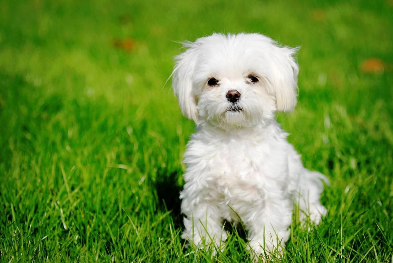 маленькая белая собачка фото
