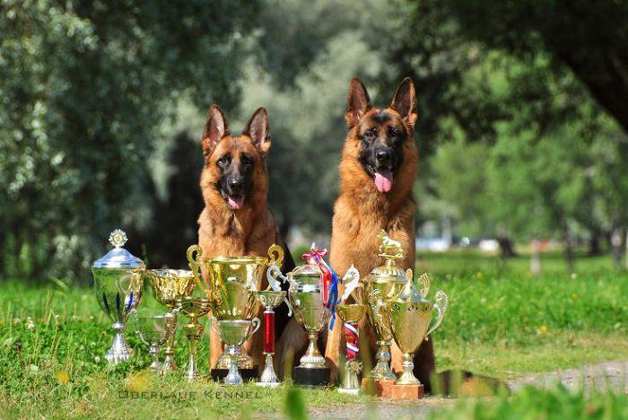 Селекция собак