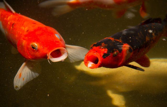 Умеет ли рыба дышать