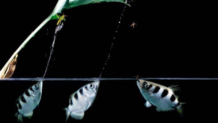 рыба-стрелок
