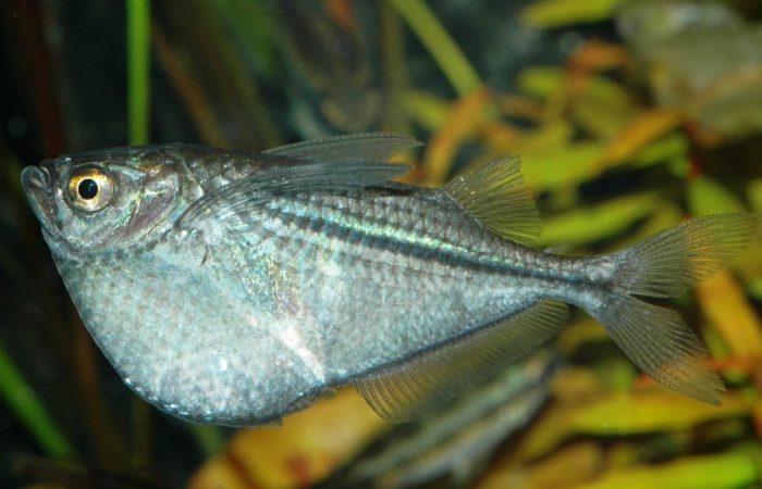 топорики рыбы