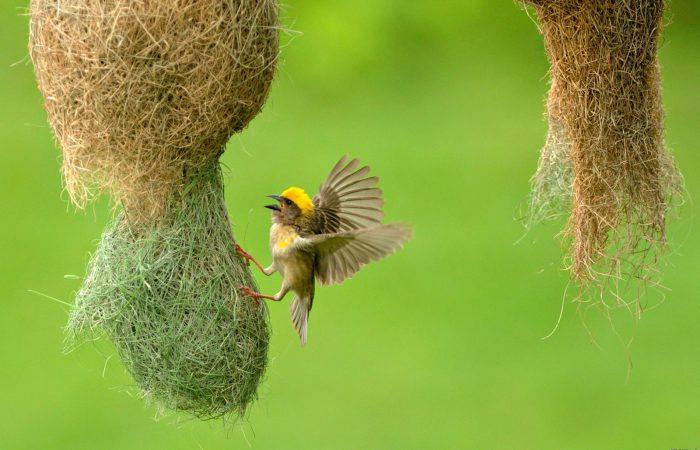 птица ткачик