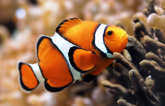 рыбка-клоун аквариумная