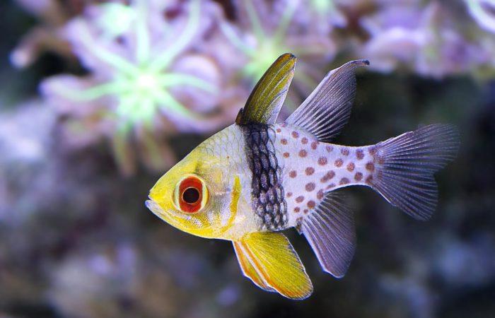 Сферомия аквариумная