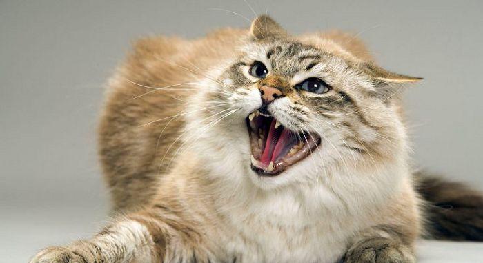 Повышенная возбудимость кошки