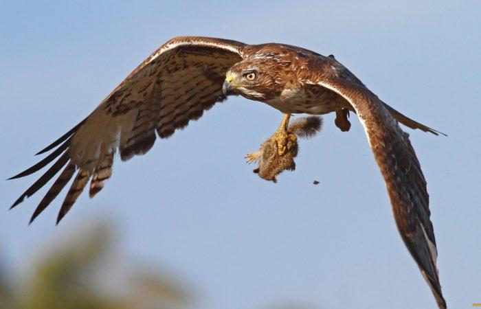орел с жертвой