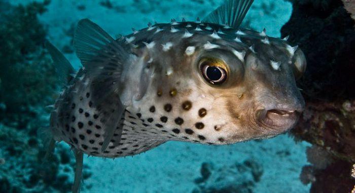 Еж-рыба