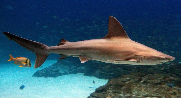 Коричневая акула