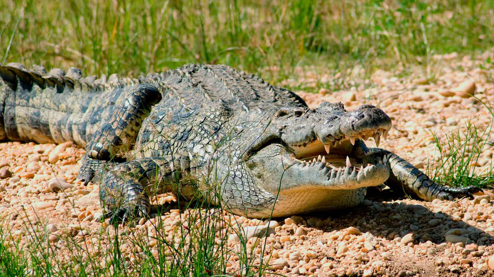 """Картинки по запросу """"нильский крокодил"""""""