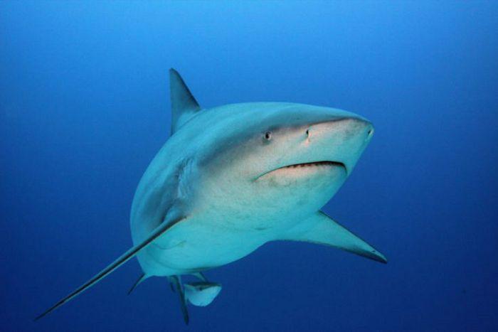 Серая бычья акула