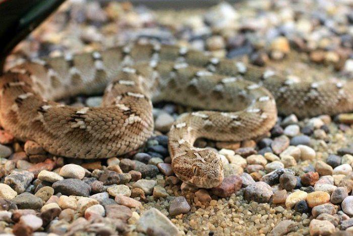 Песчаная эфа