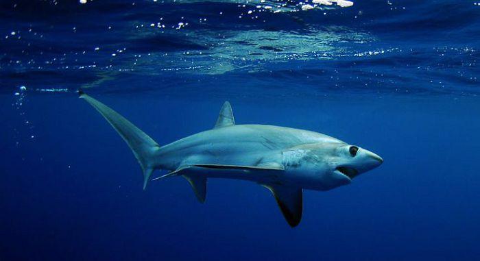 Акула лисица