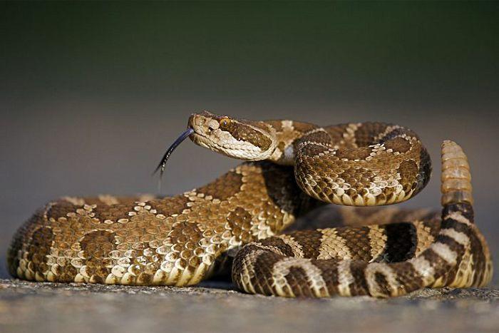 Обыкновенная гремучая змея