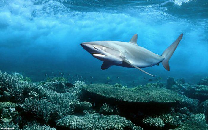 Акула серая рифовая