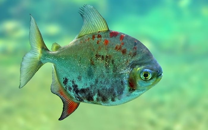 Гермафродитизм у рыб