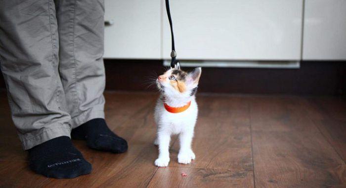 дрессировка кошки
