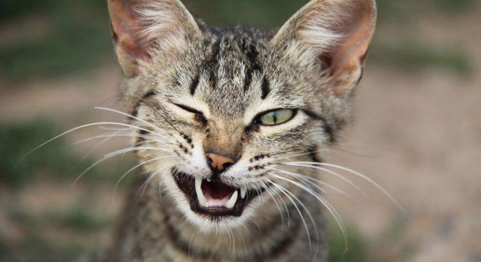 Мимика и жесты кошек