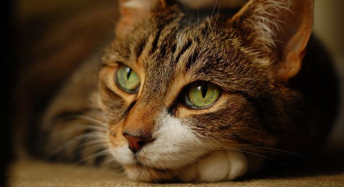 Стресс у кошки