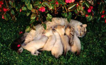 Период лактации и воспитания потомства у кошек