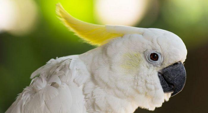 Какаду желтохохлый большой