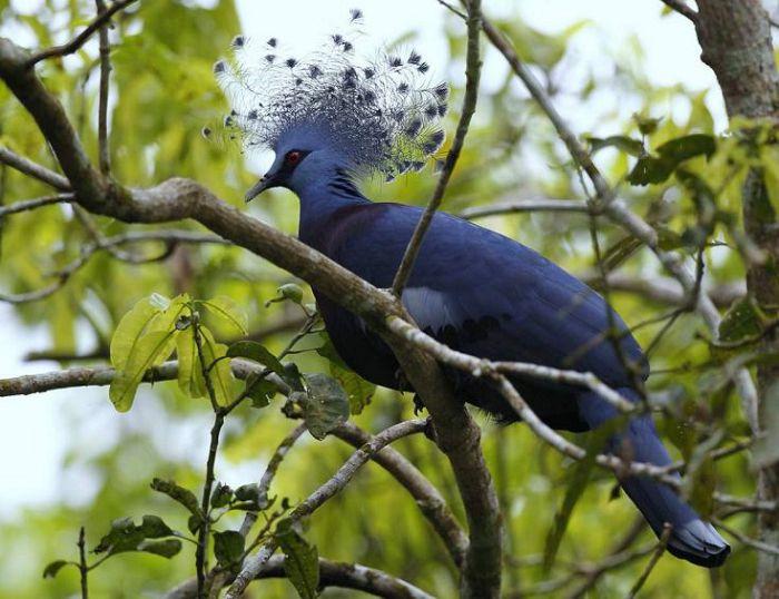 Голубь веероносный венценосный