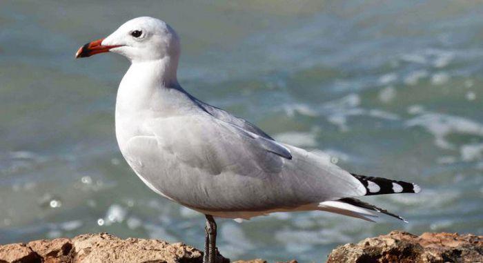 Чайка Одуэна