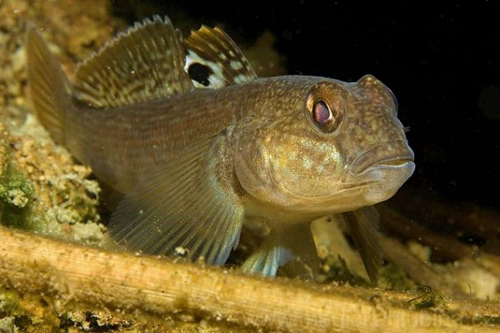Бычок (рыба)