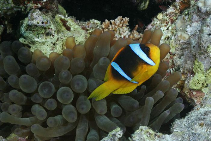 Помацентровые рыбы