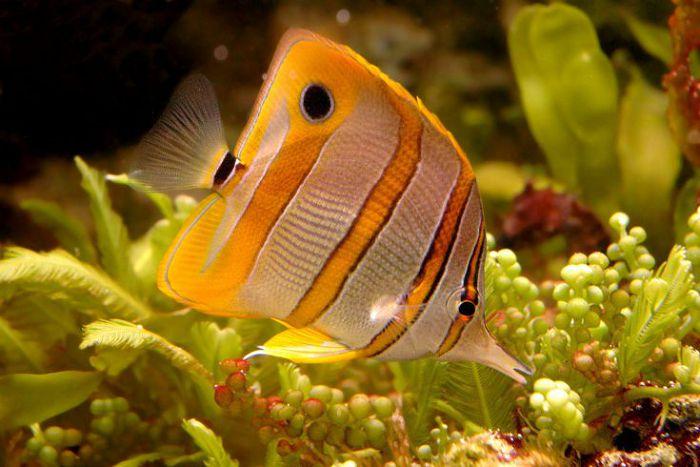 Рыба-бабочка меднополосая