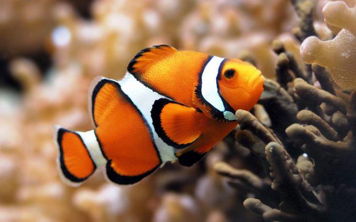 Рыба анемоновая