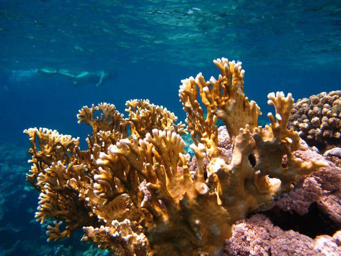 Кораллы Миллепора