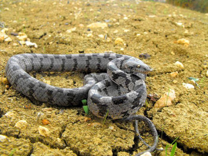 Змея кошачья обыкновенная