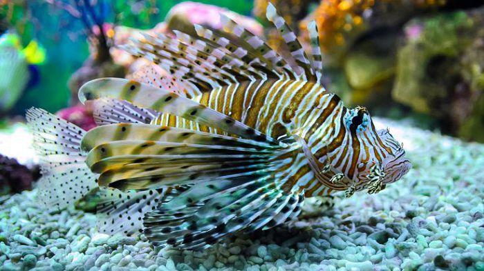 Крылатка или рыба-зебра