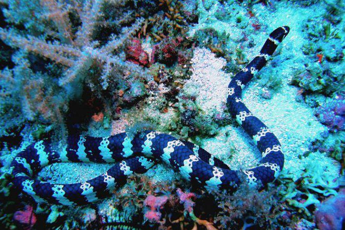 Ластохвост спиральный (латинское название Hydrophis spiralis)