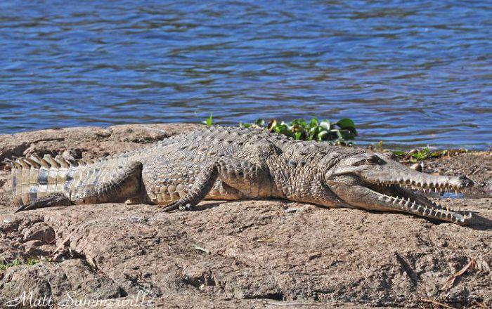Австралийский пресноводный крокодил