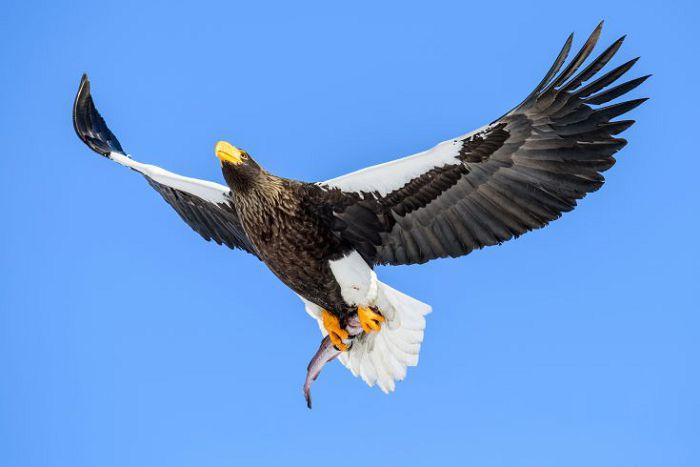 Белоплечий орлан в полете