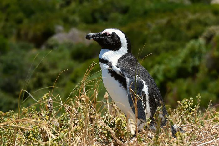 Пингвин очковый