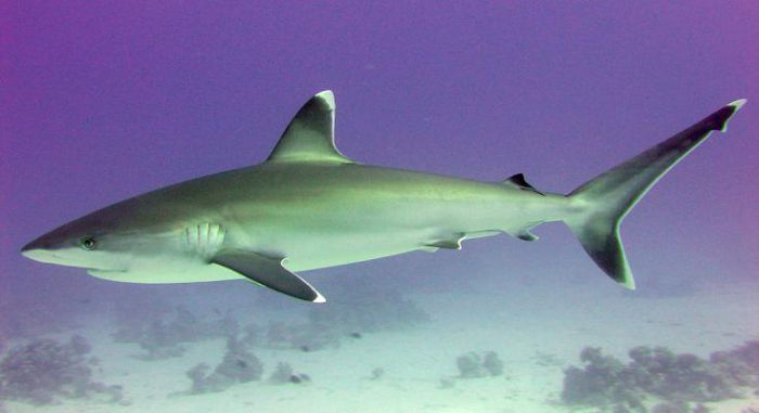 Белоперая акула