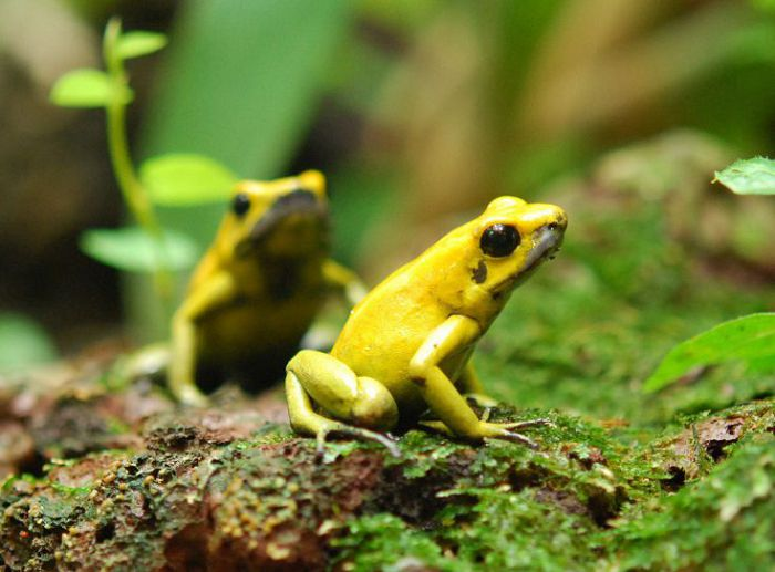 Ядовитые лягушки (древолазы, листолазы)